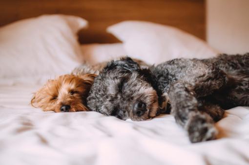 2 chiens qui ont sommeil