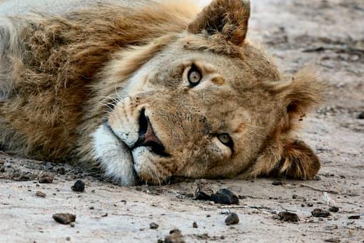 Lion allongé sur le côté