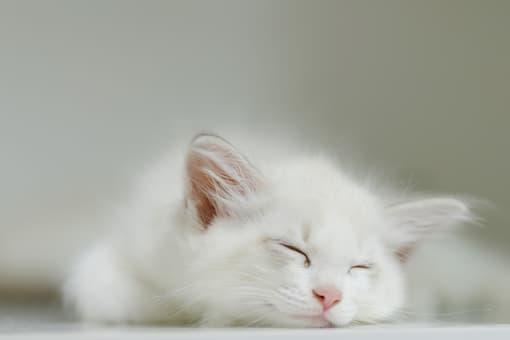 Chat blanc qui fait la sieste.